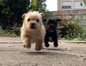 cani-corsa